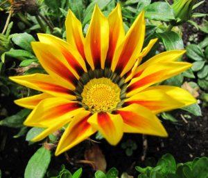Heilmethoden - Leuchtende gelbrote irische Blume in Asternform