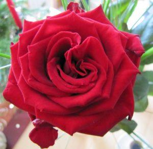 Das Familiensystem gleicht einer Rose mit vielen Blättern. - Rote lächelnde Rose