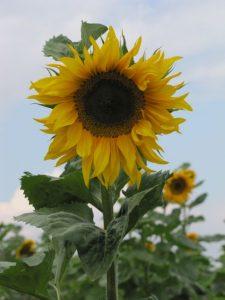 Energetische Reinigung - Voll aufgeblühte Sonnenblume vor Himmel mit Wolken