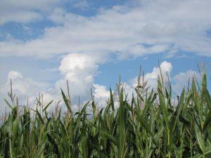 Heilende Hände - Blüten eines Maisfeldes mit weißen Wolken und blauem Himmel