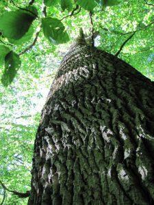 Disclaimer - Haftungsausschluss - Baumstamm mit Blick in die sonnendurchflutete Baumkrone