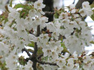 Apfelblüten für Constanze, als kleines Dankeschön für Deine Rückmeldung.
