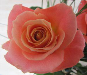Seelenbesetzungen transformieren - Unsere Seelen gleichen zarten Rosen.