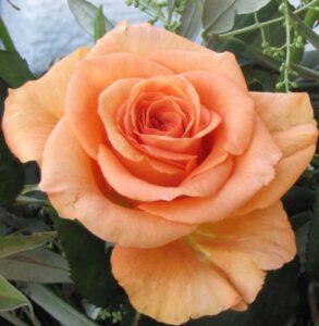 Unsere Seelen gleichen wunderschönen Rosen - Voll erblühte apricotfarbene Rose