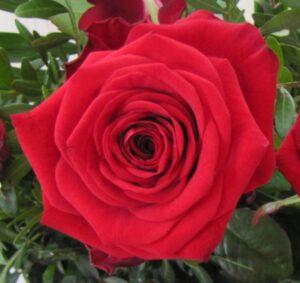 Eine rote Rose als Geschenk für Sandra, als kleines Dankeschön für Ihre Rückmeldung.